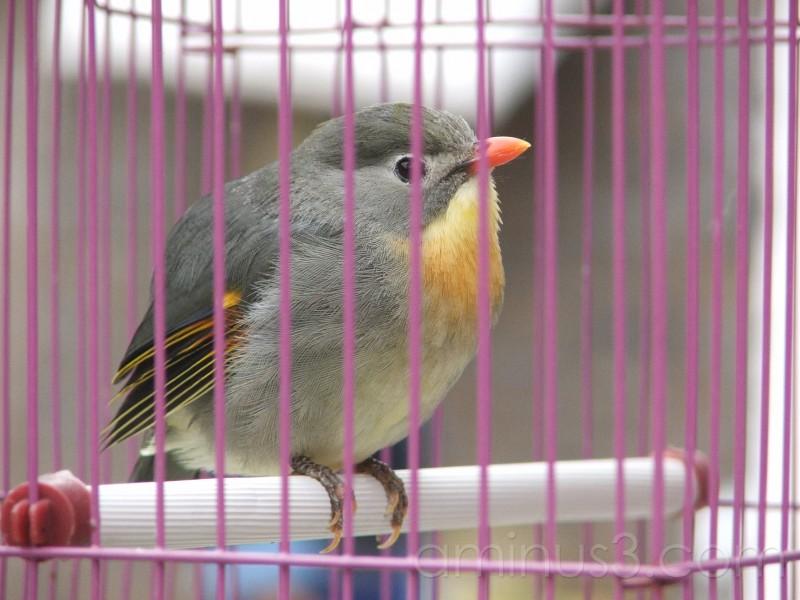 bird, cage, prisoner, capture, animal