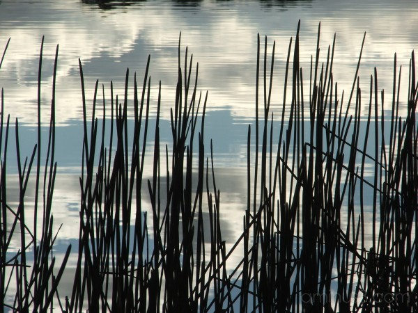 lake, reeds, light