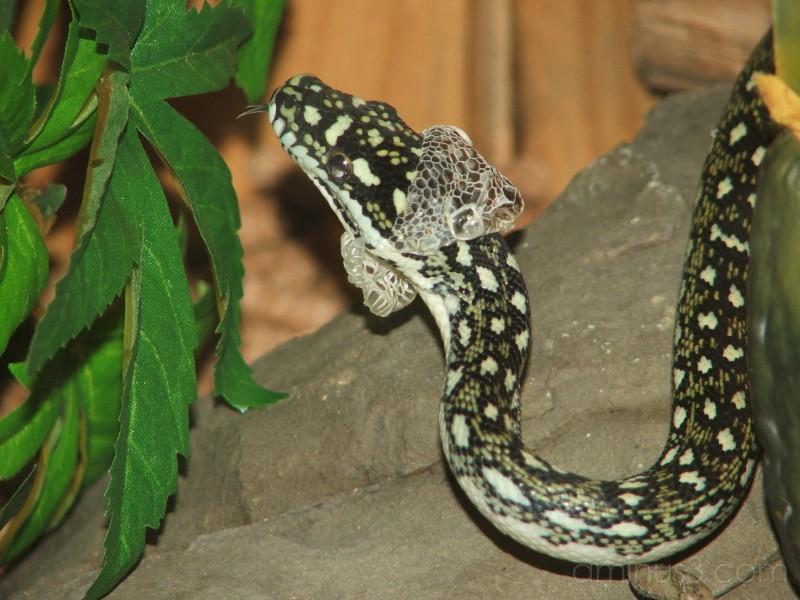 Noel the snake