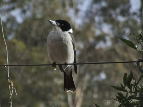 Female Grey Butcher Bird [2/4]