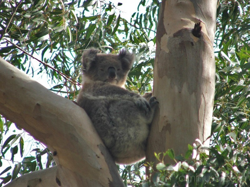 Koala Kapers 1