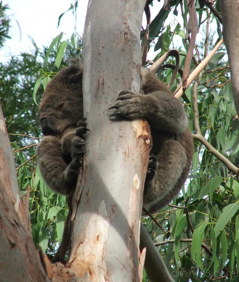 Koala Kapers 2