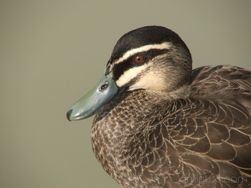 Black Pacific Duck