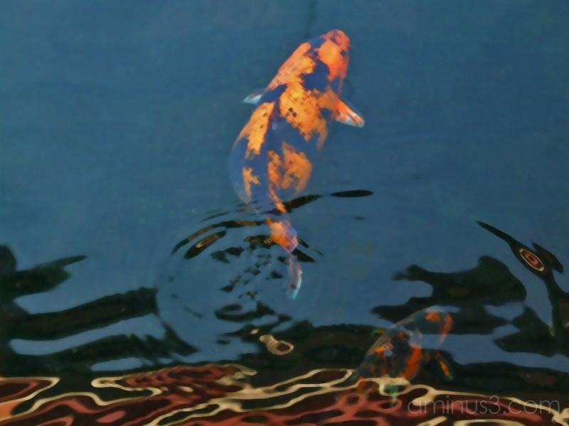 Goldfish Dreaming 3