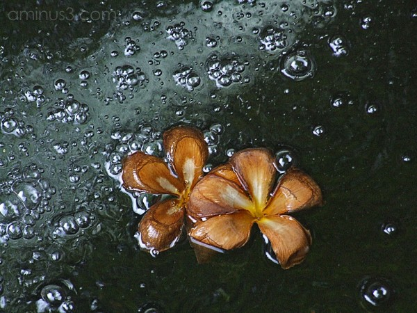 A Day in the Death of a Frangipani