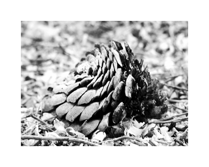 Pinecone on the sand