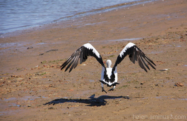 Flight of the pelican 2