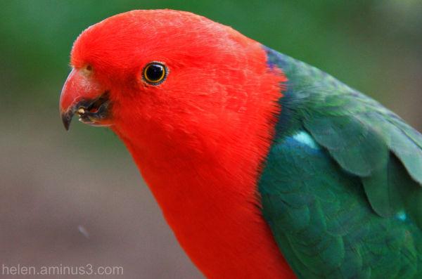 Australian King Parrot 2