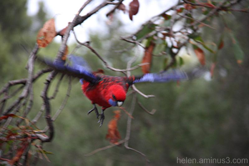 Bird Flight 3 - Crimson Rosella