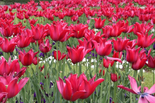 Red tulip day