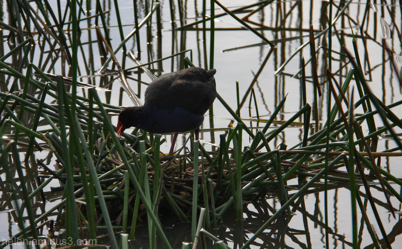 Lakeside story - Building the nest