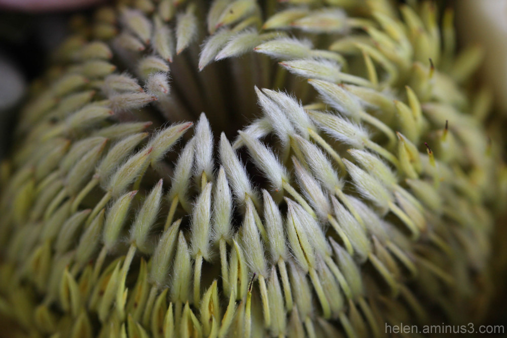 Green-yellow Protea