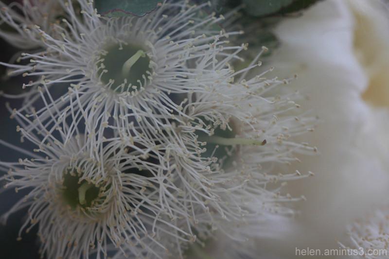 White gum blossom