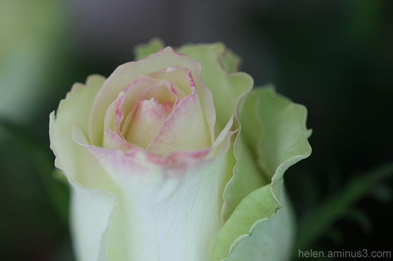 Pink-green rose 2