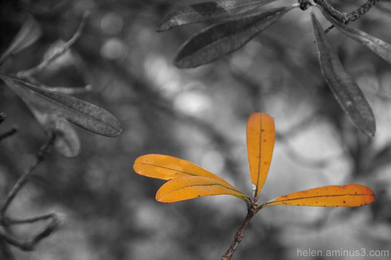 Dying banksia leaf
