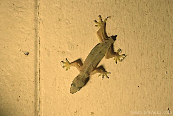 Gecko minus