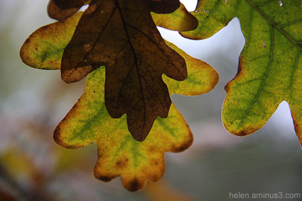 Mid-winter oak
