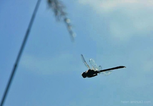 Dragonfly on the wing