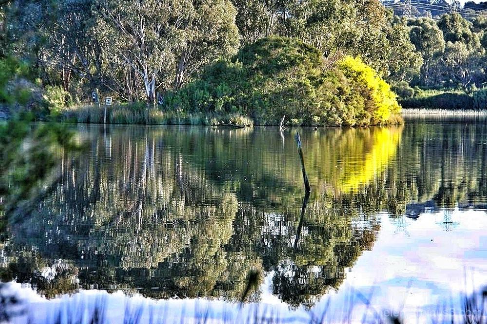 Reflected wattle