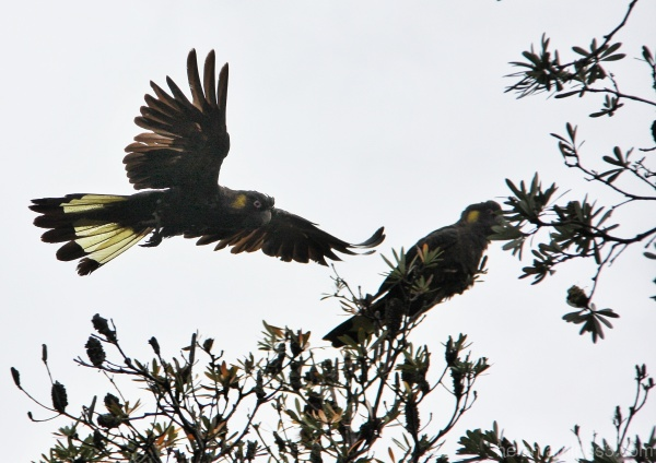 Black cockatoos eating seasonal banksia