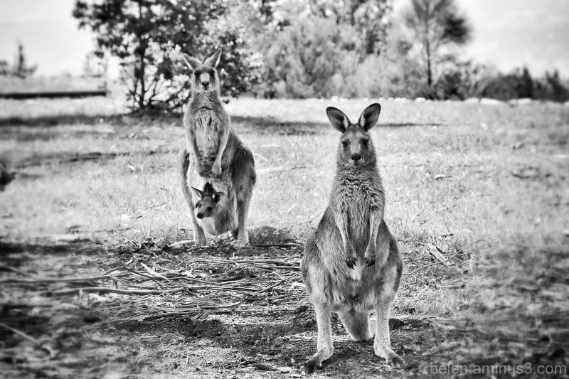 Greetings from Melbourne, Australia  There are many kangaroos living around Melbourne in the state of Victoria, Australia where I live.   Kangaroos are fairly timid and prefer to live in the countryside grazing on grasses and usually avoid populated areas.  They blend into the environment very well, and are usually only spotted if they move.  Kangaroos are a special kind of mammal; they are marsupials. The females carry their young (called joeys) in a pouch.  The joeys are born blind, hairless and are the size of a baked bean.  The baby stays in the pouch and lives on mother's milk for months.  When it is bigger it begins to peek out of the mother's pouch.  Then for a few months it begins to graze on grass, but continues to stay in the pouch.  Mother kangaroos can carry two joeys of different ages in the pouch.  One attached to the teat and another that is larger and more independent.