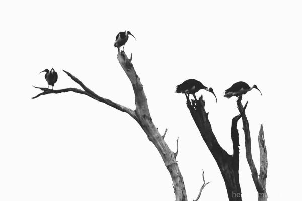 Ibis tree