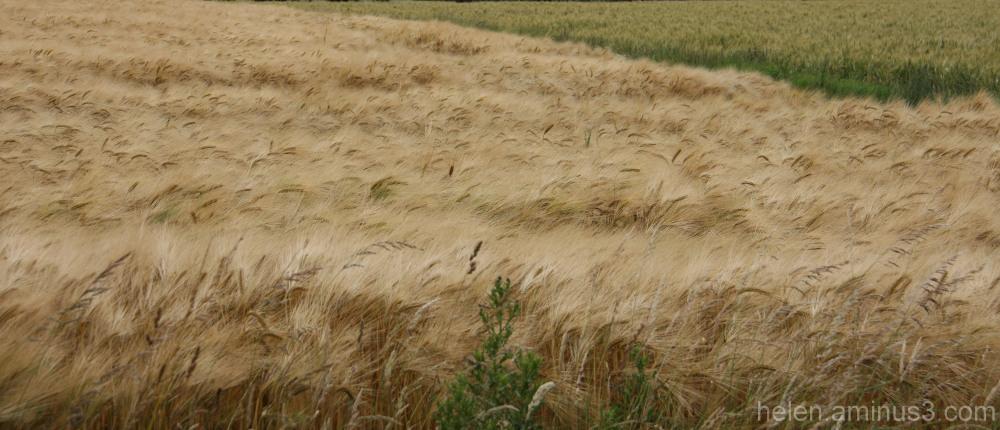 Dans les champs, il y a ... du blé