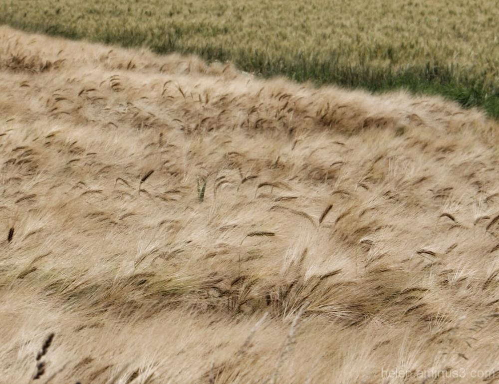 Dans le champs ..... Il y a du blé ...