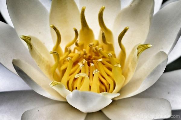 Inside a waterlily