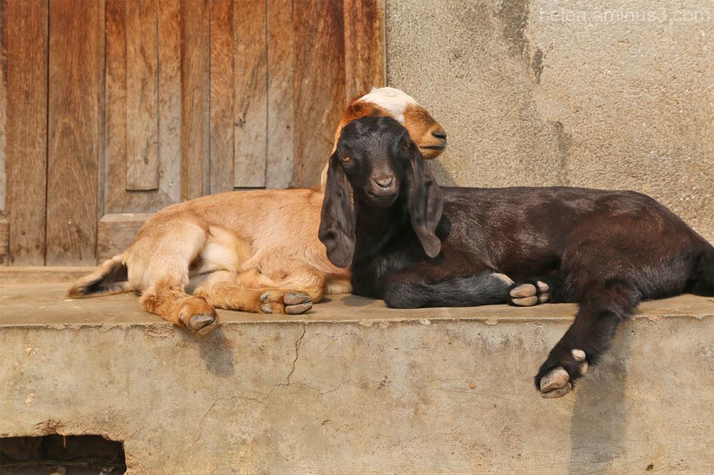goat step