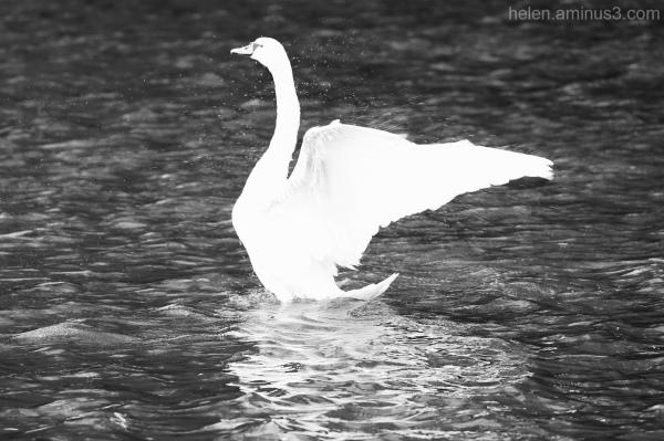 Swan on lake 2