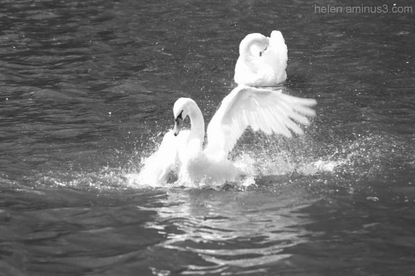 Swan on lake 3