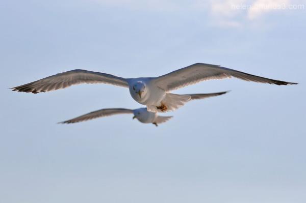Sea birds 4
