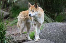 Australian animals - The Dingo