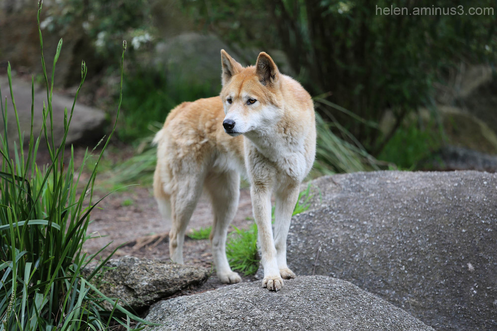 Australian animals - The Dingo