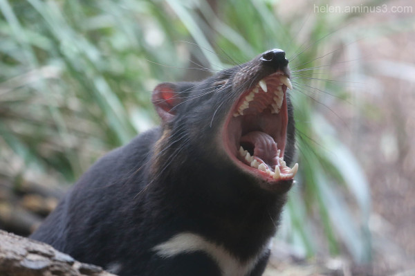 Australian animals - The Tasmanian Devil