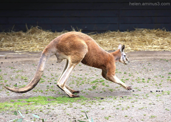 Australian animals - The Kangaroo