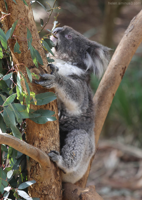 Australian animals - The Koala