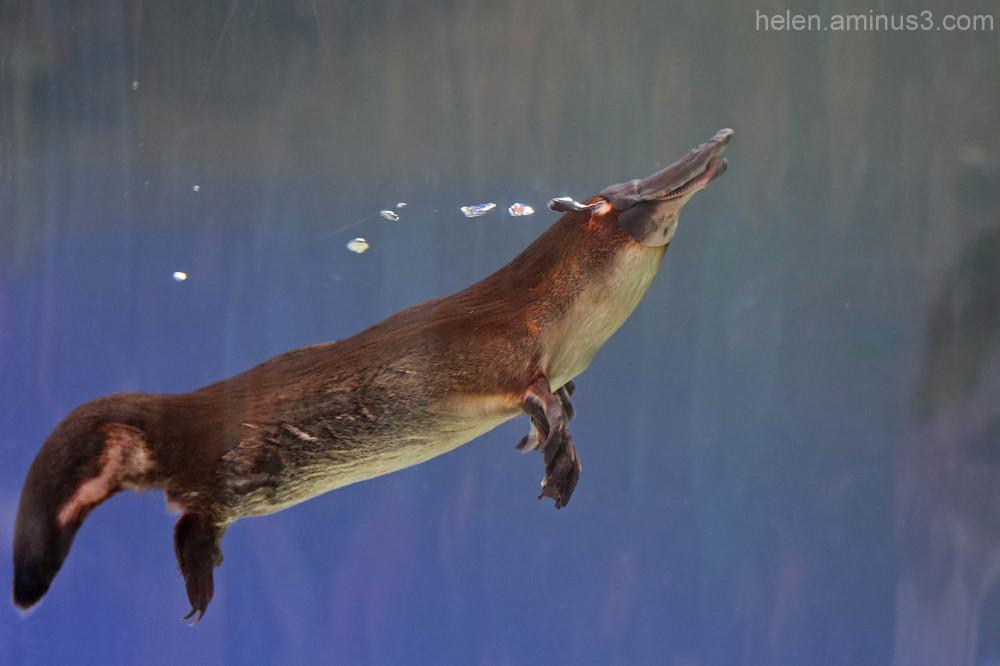 Australian animals - The Platypus