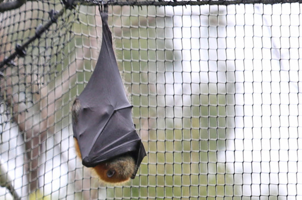 Australian animals - The Flying Fox