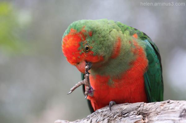 Australian animals   The King Parrot