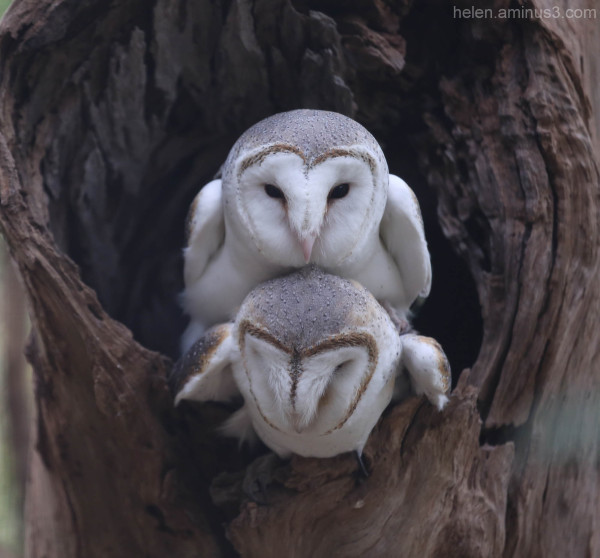 Australian animals - The Australian Barn Owl