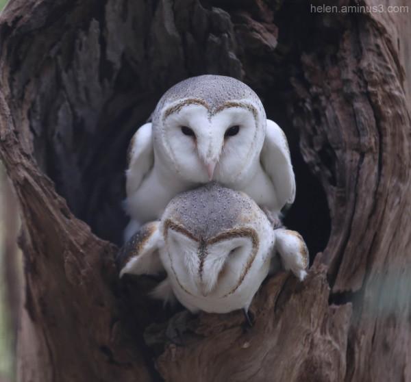 Australian animals   The Australian Barn Owl