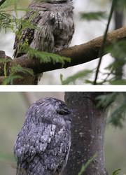 Australian animals - The Tawny Frogmouth