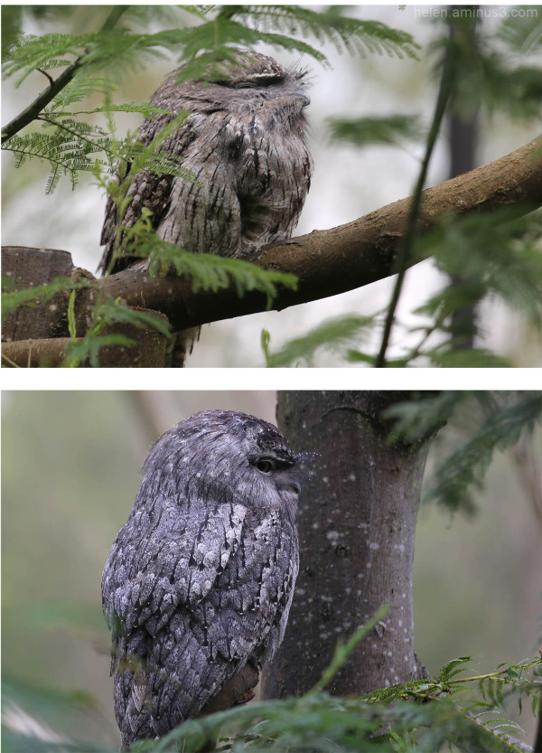 Australian animals - The Tawny Frogmouth