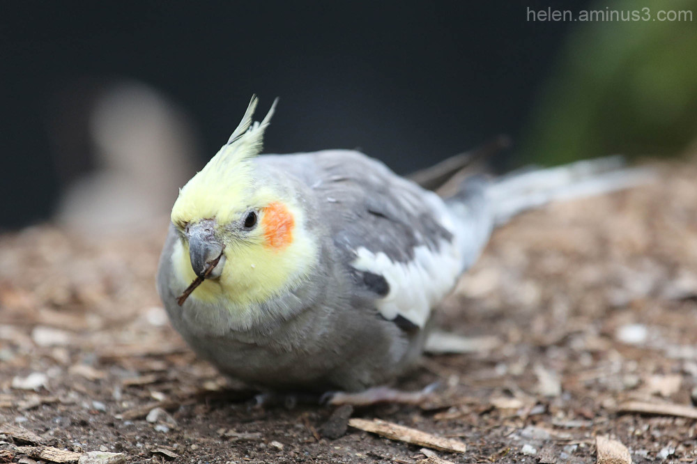 Australian animals - The Cockatiel