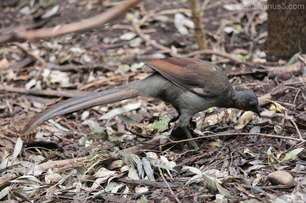 Australian animals - The Lyrebird
