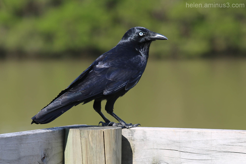 Habits of a raven #1