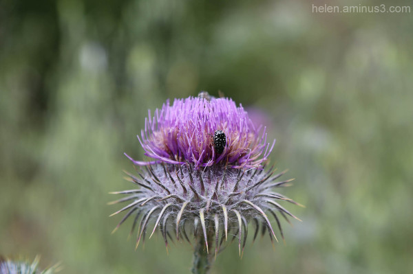 Head in a thistle