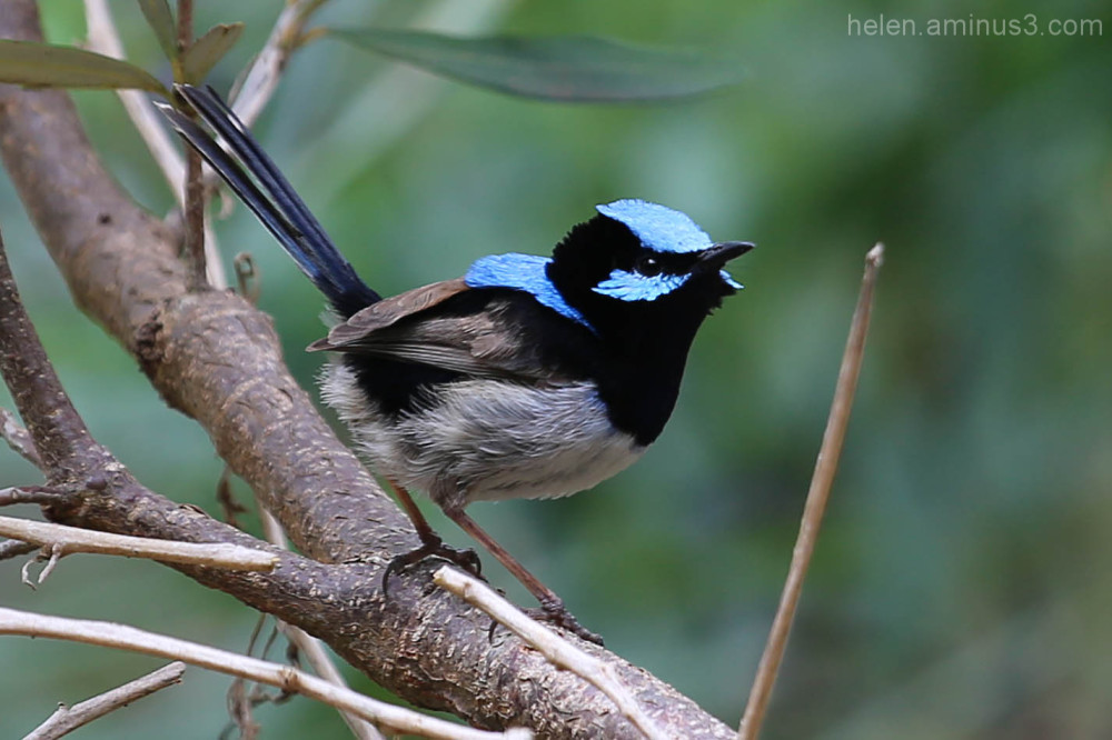 Superb Fairy Wren 1